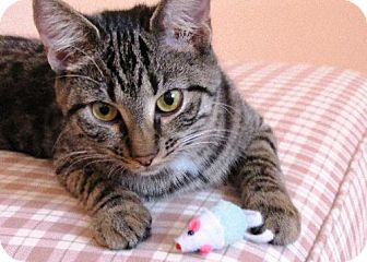 Maine Coon Kitten for adoption in Absecon, New Jersey - Tucker Lynn