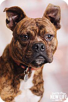 French Bulldog/English Bulldog Mix Dog for adoption in Portland, Oregon - Zeppelin