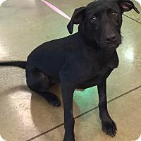 Adopt A Pet :: Melody#2M (Shadow) - Orlando, FL