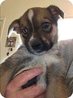 Australian Shepherd/Australian Cattle Dog Mix Puppy for adoption in Cave Creek, Arizona - Wesley