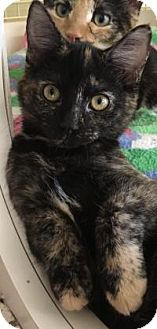 Domestic Shorthair Kitten for adoption in Franklin, West Virginia - Hush