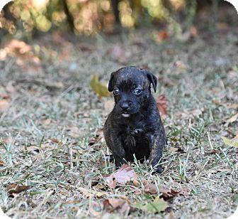 Dachshund Mix Puppy for adoption in South Dennis, Massachusetts - Desiree