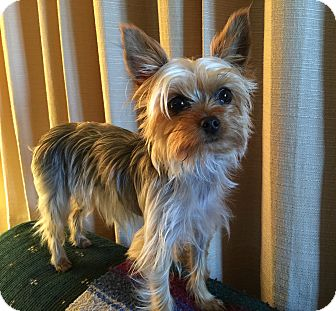 Yorkie, Yorkshire Terrier Dog for adoption in Sheboygan, Wisconsin - Pippi