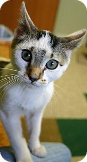 Domestic Shorthair Kitten for adoption in Hastings, Nebraska - Tippy