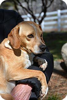 Beagle/Spaniel (Unknown Type) Mix Dog for adoption in Mountain Center, California - Tye