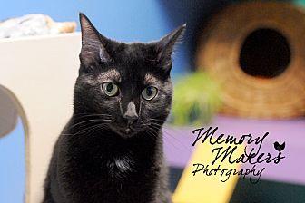 Domestic Shorthair Cat for adoption in Topeka, Kansas - Guppy