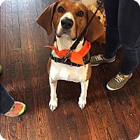 Adopt A Pet :: Miss Cola - Baltimore, MD