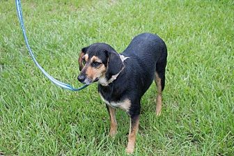 Hound (Unknown Type)/Beagle Mix Dog for adoption in Darien, Georgia - Penny
