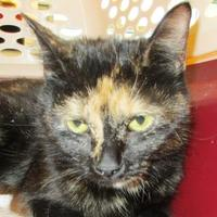 Domestic Shorthair/Domestic Shorthair Mix Cat for adoption in Memphis, Tennessee - Jessica Rabbit