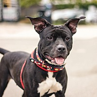 Adopt A Pet :: Chanel - Berkeley, CA