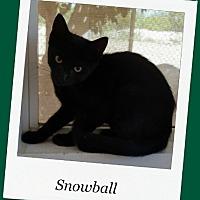 Adopt A Pet :: Snowball - Tombstone, AZ