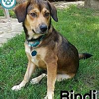 Adopt A Pet :: Bindi - Kimberton, PA
