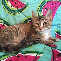 Adopt A Pet :: Goodie - Addison, IL