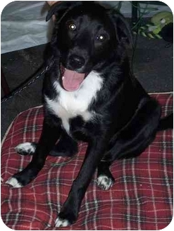 Australian Shepherd/Labrador Retriever Mix Puppy for adoption in Faribault, Minnesota - Walker