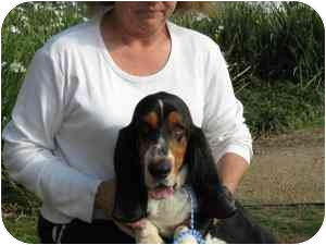 Basset Hound Dog for adoption in Folsom, Louisiana - Pete