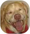 Labrador Retriever Mix Dog for adoption in Eatontown, New Jersey - Shadow