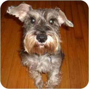 Schnauzer (Miniature) Dog for adoption in Redondo Beach, California - May