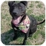 Photo 4 - American Staffordshire Terrier Dog for adoption in Huntington, New York - Madison