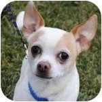 Chihuahua Mix Dog for adoption in Wheaton, Illinois - Mickey