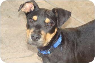 Doberman Pinscher/Shepherd (Unknown Type) Mix Dog for adoption in Tustin, California - Ninja