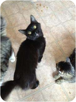 Maine Coon Cat for adoption in Mobile, Alabama - Charlotte