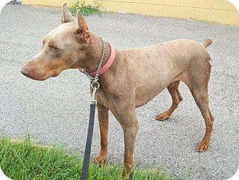 Doberman Pinscher Dog for adoption in New Richmond, Ohio - Noah--Pending