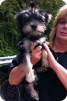 Yorkie, Yorkshire Terrier/Schnauzer (Miniature) Mix Puppy for adoption in Danbury, Connecticut - Ally PENDING