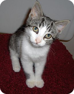 Domestic Shorthair Kitten for adoption in Richmond, Virginia - Colby