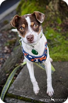 Jack Russell Terrier/Chihuahua Mix Dog for adoption in Portland, Oregon - Winona