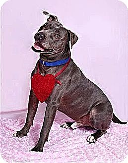 American Staffordshire Terrier Dog for adoption in Littleton, Colorado - WOKIE