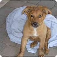 Adopt A Pet :: Diesel - Gilbert, AZ