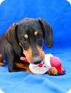 Dachshund Mix Dog for adoption in Coronado, California - Norville
