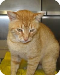 Domestic Shorthair Cat for adoption in Mineral, Virginia - Simon