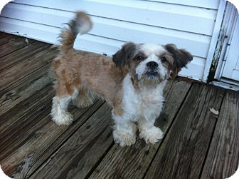 Shih Tzu Mix Puppy for adoption in Mentor, Ohio - Nemo 8mo Adopted