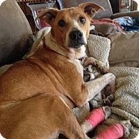 Adopt A Pet :: Chili - Geneseo, IL