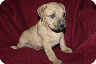 Boxer/Labrador Retriever Mix Puppy for adoption in Mesa, Arizona - PIPPIE 8 WEEK BOXER LAB MIX FE