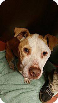 Bull Terrier/American Staffordshire Terrier Mix Dog for adoption in Battle Creek, Michigan - Summer-Sunshine