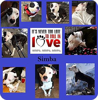 Pit Bull Terrier Mix Dog for adoption in Islip Terrace, New York - Simba