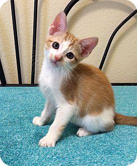 Domestic Shorthair Kitten for adoption in Plano, Texas - KRAMER - HANDSOME ORANGE BOY