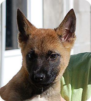 German Shepherd Dog/Belgian Shepherd Mix Puppy for adoption in Preston, Connecticut - Jessie AD 01-23-16