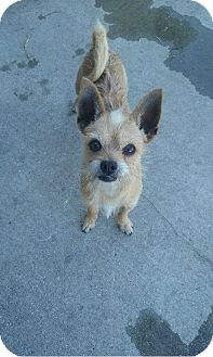Cairn Terrier Mix Dog for adoption in Vancouver, British Columbia - Darbie