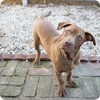 Adopt A Pet :: Amos - Des Peres, MO