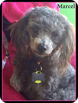 Poodle (Miniature) Dog for adoption in New Jersey, New Jersey - Bordentown NJ - Marcel