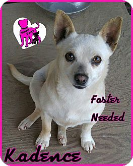 Chihuahua/Terrier (Unknown Type, Small) Mix Dog for adoption in Fowler, California - Kadence