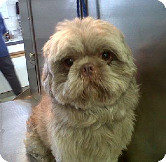 Shih Tzu Dog for adoption in Bloomington, Illinois - Romeo
