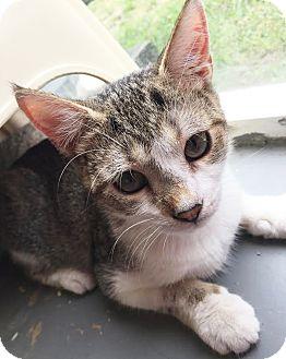 Domestic Shorthair Kitten for adoption in Boca Raton, Florida - Annie Oakley