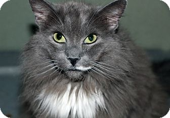 Maine Coon Cat for adoption in Encino, California - ROBERT