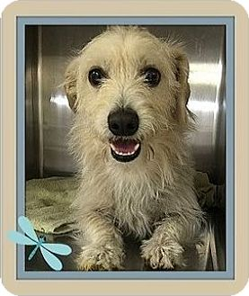 Cairn Terrier Mix Dog for adoption in Murrieta, California - Whiskers