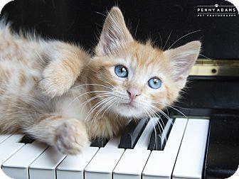 Domestic Shorthair Kitten for adoption in Nashville, Tennessee - Belfast