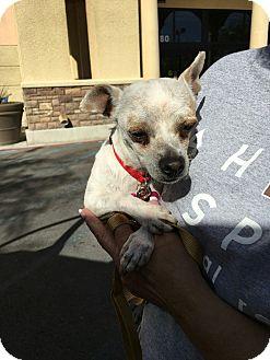 Chihuahua/Chihuahua Mix Dog for adoption in Las Vegas, Nevada - Whitey